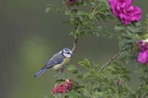 Einer der häufigsten Gartenvögel: Die Blaumeise, Parus caeruleus. (Foto © NABU)