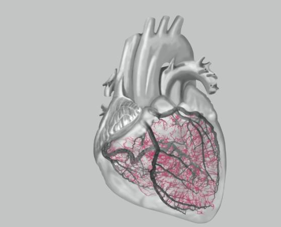 Auch die kleinen Herzgefäße können Auslöser für Herzschmerzen sein (Grafik © DAK Gesundheit)
