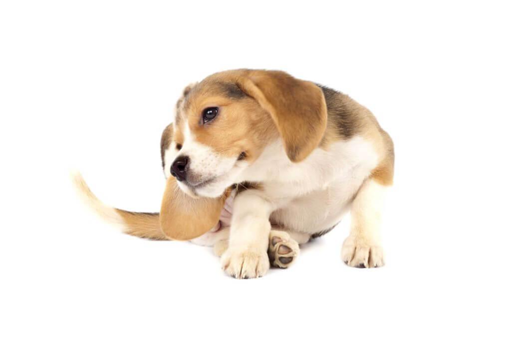 Was ein Kratzenjammer!  Wenn Hunde unter Juckreiz leiden, ist schnelle Hilfe gefragt