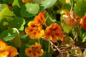 Pflanzliche Antibiotika - Blüten der Kapuzinerkresse in gelb und orange (Foto © Fotolia/funnyhill)