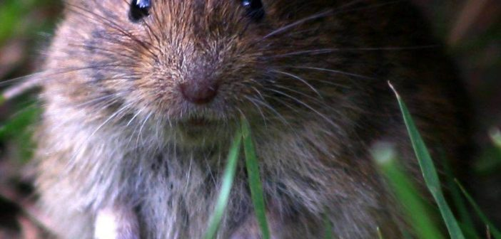 Die Maus: Hauptüberträger des Hanta-Virus (Foto: © Samy13 / PIXELIO)