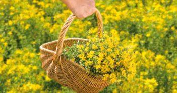 Johanniskraut wird während seiner Blüte Mitte Juni von den Feldern geerntet.