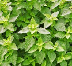 Der gemeine Andorn (Marrubium vulgare): Alles Wissenswerte über die Arzneipflanze 2018
