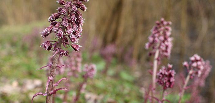 Die Pestwurz - mit Pflanzenkraft gegen Migräne