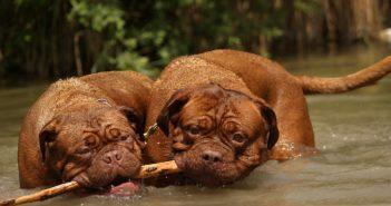 zwei dicke Hunde spielen im Wasser