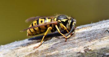 Was hilft gegen Wespen?