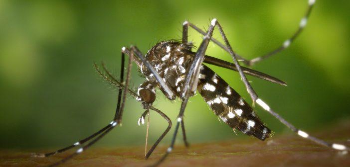 Die Asiatische Tigermücke: Das sollten Sie über sie wissen!
