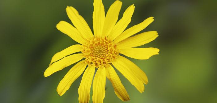 Sonnenblume mit grünem Hintergund