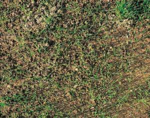 Bild eines nachgesäten Rasens