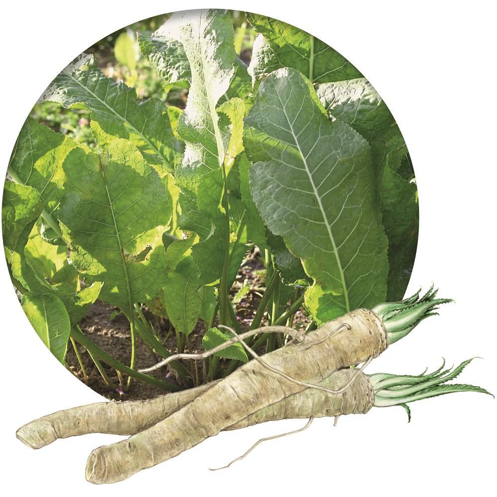 Meerrettich als Arzneipflanze