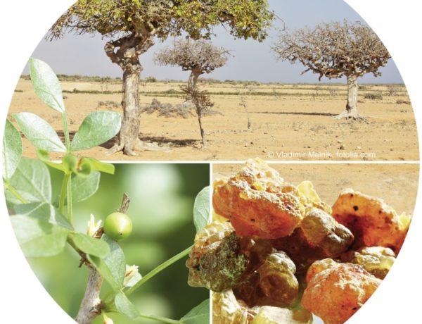 Darmerkrankungen pflanzlich behandeln: Myrrhe – Arzneipflanze des Jahres 2021